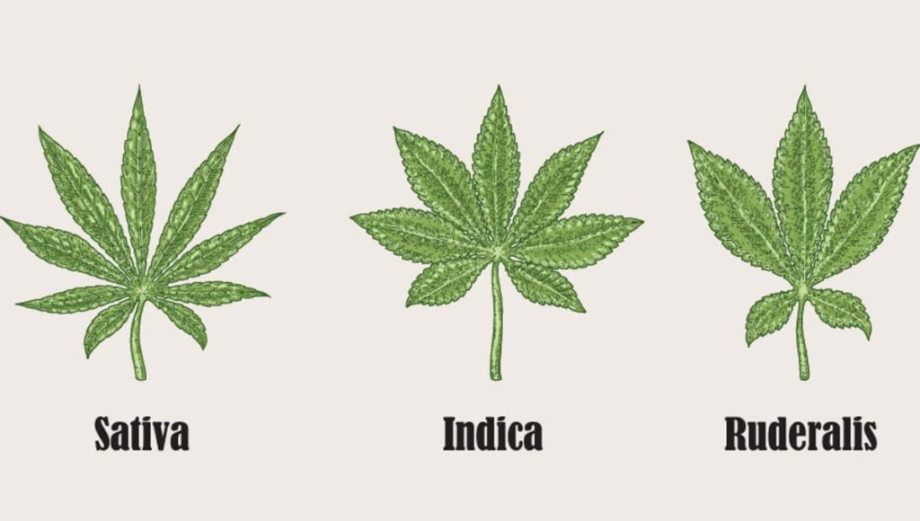 Three different species of cannabis